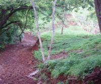 Primera siembra de Teca y Caoba en Finca Totobe